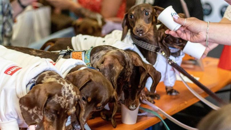 Hundreds of sausage dogs set to descend on town centre