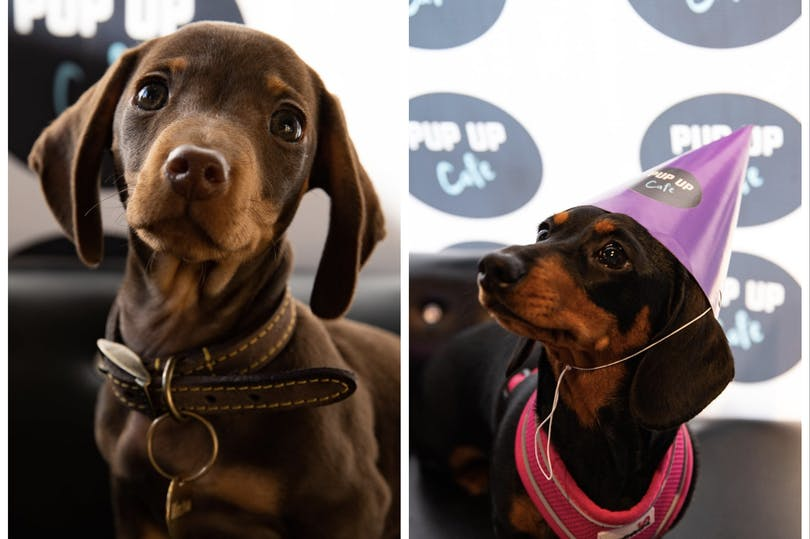 Hundreds of adorable sausage dogs coming to Glasgow city centre for Pup Up Cafe