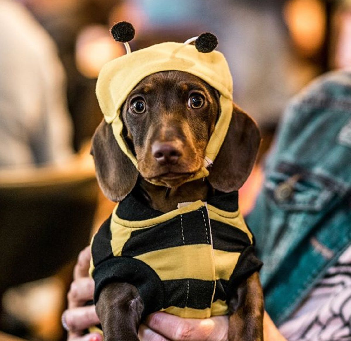 A dachshund cafe full of cute sausage dogs is coming to Manchester this month