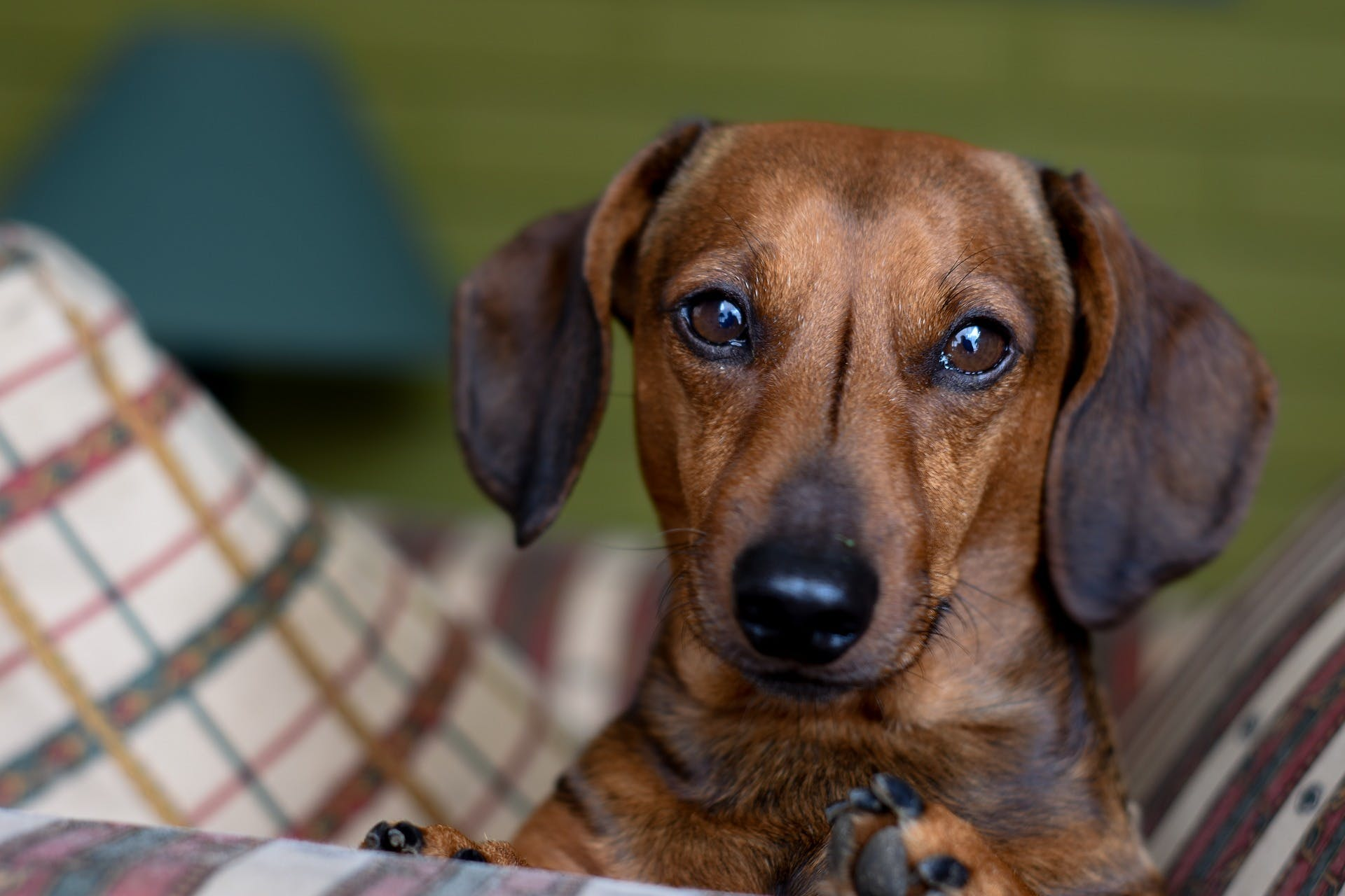 Pop-up dachshund cafe comes to Manchester