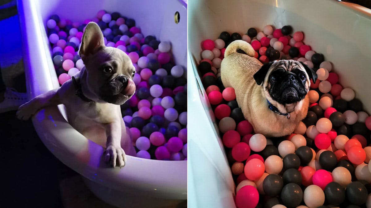 THERE'S A POP UP PUG & FRENCHIE CAFE COMING TO BRISTOL