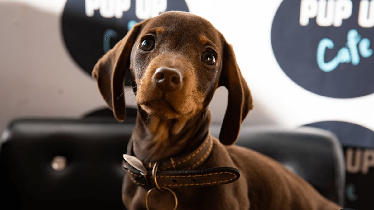 A Sausage Dog Cafe Where You Can Cuddle Pups Is Opening This Month
