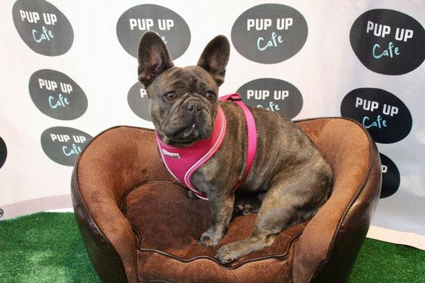 Pup Up Cafe for Pugs and French Bulldogs comes to York