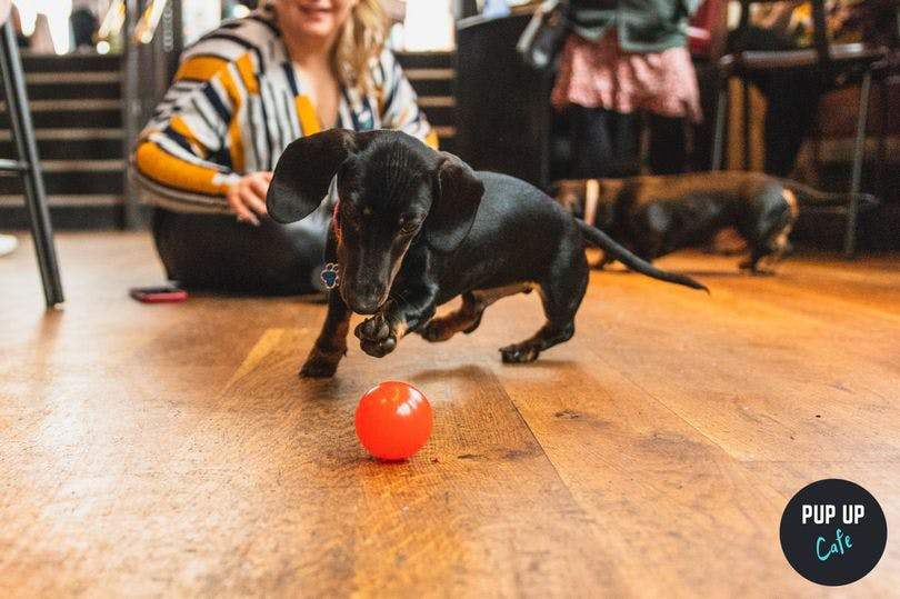 Dachshund Pup Up Cafe coming to Nottingham bar