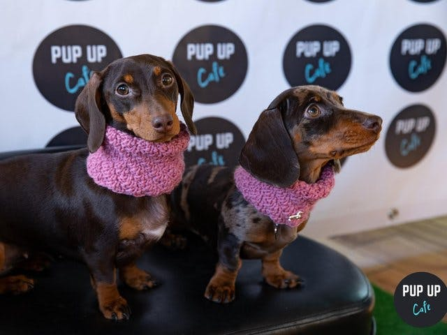 Sheffield to host Dachshund 'Pup Up Cafe'!