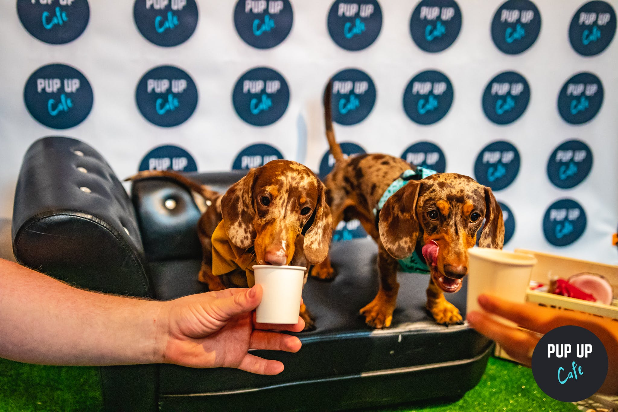 Glasgow bar to host 'pup-up' cafe for Dachshunds