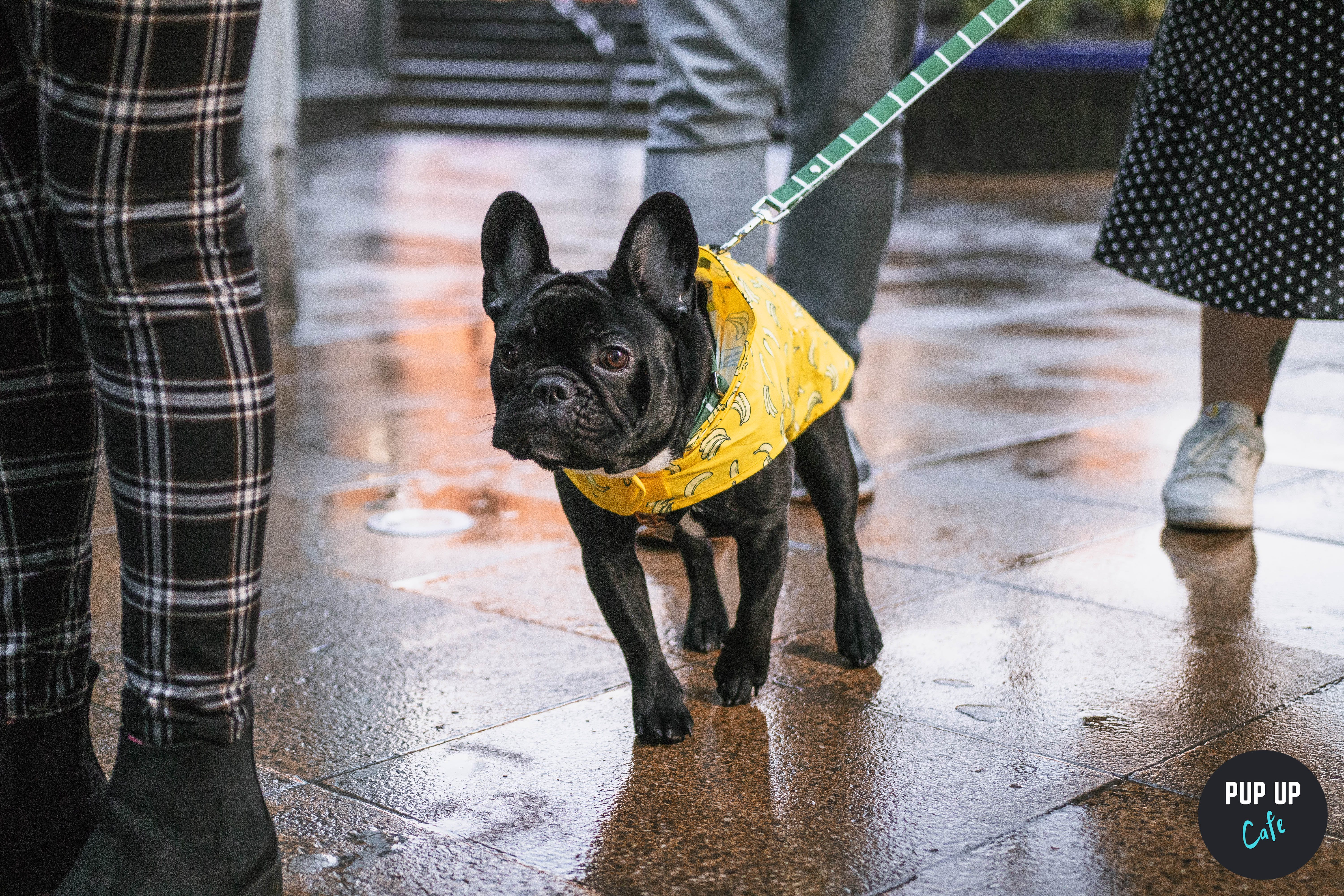 The Front Room to host Pup Up Cafe dedicated to Pugs and Frenchies!