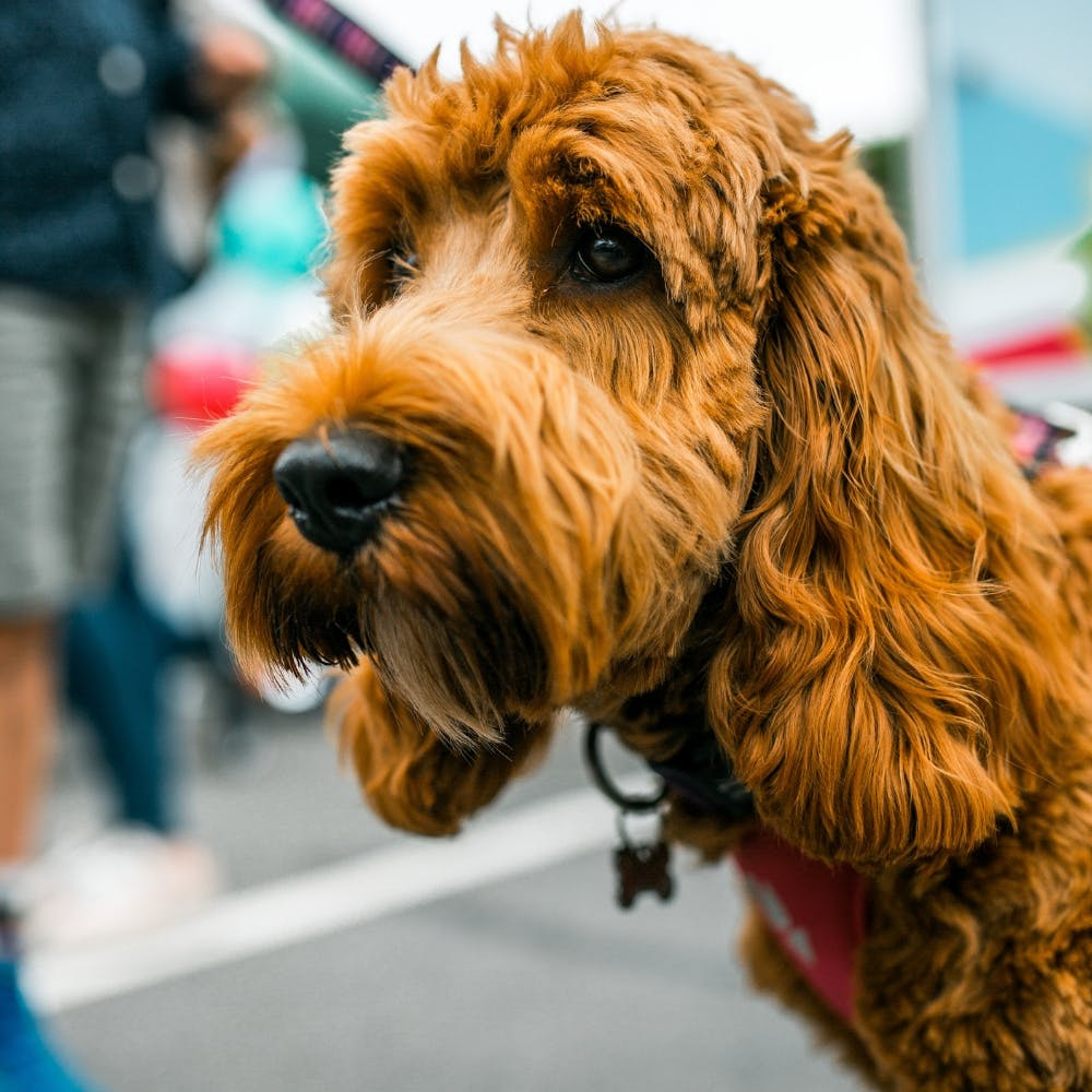 WOOLTON DOG SHOW